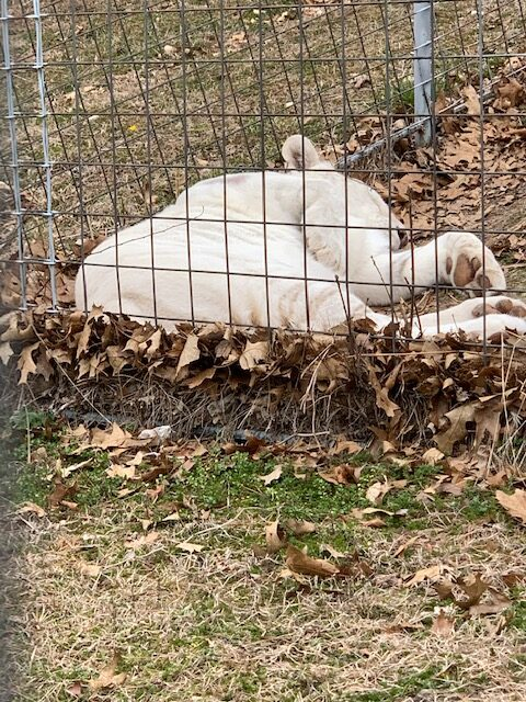 White Tiger napping