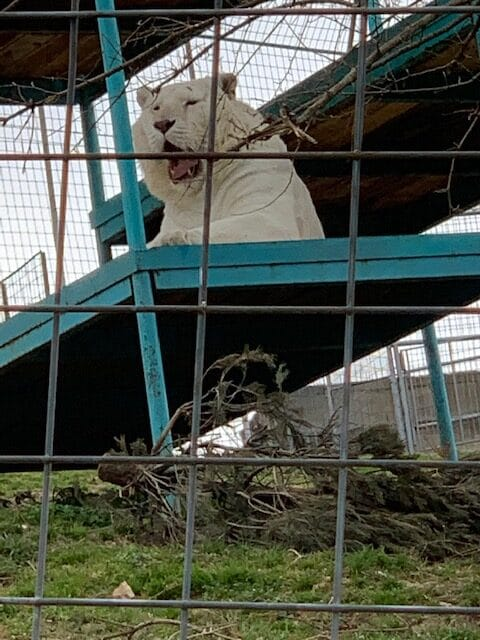 White Tiger watching visitors